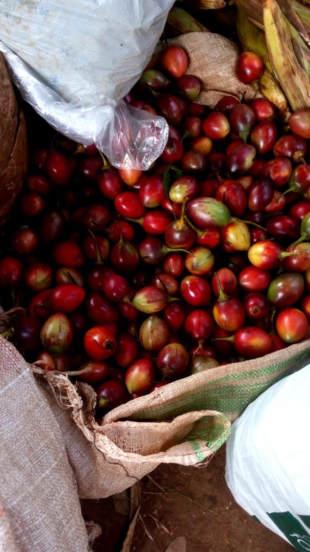 tree tomatoes/tamarillos